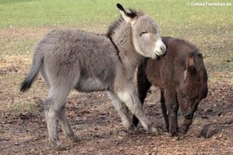 Hausesel (Equus africanus f. asinus)
