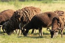 Soay-Schaf im Lindenthaler Tierpark