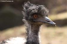 Großer Emu (Dromaius novaehollandiae) im Eifelzoo Lünebach-Pronsfeld