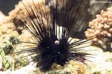 Gewöhnlicher Diademseeigel (Diadema setosum) im Tierpark Hellabrunn