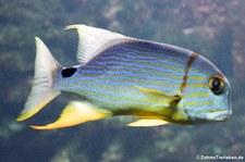 Segelflossen-Schnapper (Symphorichthys spilurus) im Tierpark Hellabrunn, München