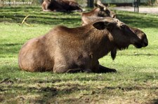 Eurasischer Elch (Alces alces alces) im Tierpark Hellabrunn, München
