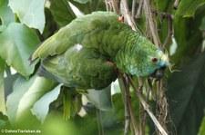 Blaustirnamazone (Amazona aestiva) im Münchner Tierpark Hellabrunn