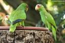 Amazona albifrons