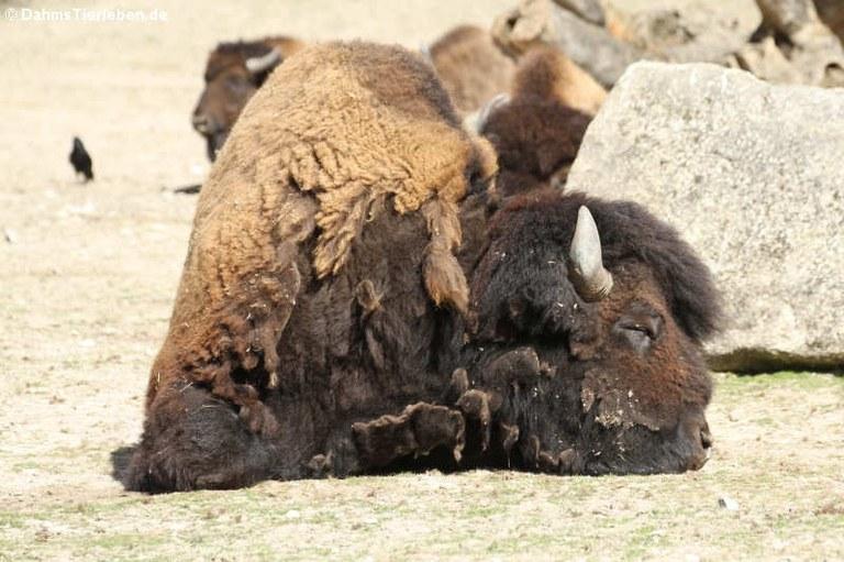 Bison bison athabascae
