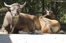 Java-Banteng (Bos javanicus javanicus) im Münchner Tierpark Hellabrunn