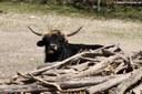 Heckrind im Münchner Tierpark Hellabrunn