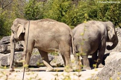 Asiatische Elefanten (Elephas maximus)