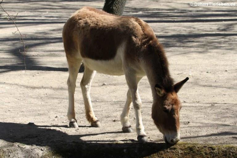 Equus kiang holdereri