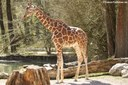 Giraffa reticulata