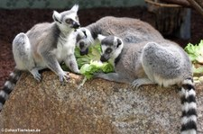 Katta (Lemur catta) im Münchner Tierpark Hellabrunn