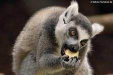 Kattas (Lemur catta) im Münchner Tierpark Hellabrunn