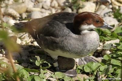 weiblicher Zwergsäger (Mergellus albellus)