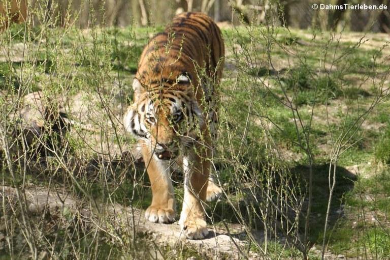 Panthera tigris altaica