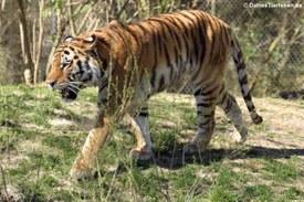 Sibirischer Tiger im Tierpark Hellabrunn