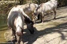 Heckpferde im Münchner Tierpark Hellabrunn