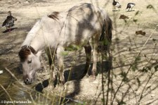 Heckpferd im Münchner Tierpark Hellabrunn