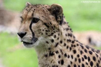 Südafrikanischer Gepard (Acinonyx jubatus jubatus)