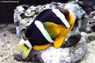 Clarks Anemonenfisch (Amphiprion clarkii)
