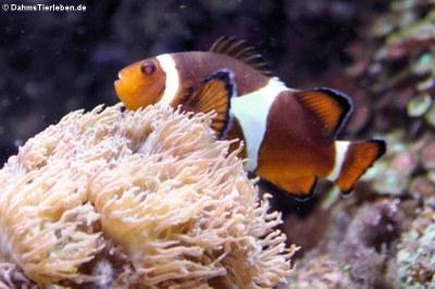 Orangeringel-Anemonenfisch (Amphiprion ocellaris)