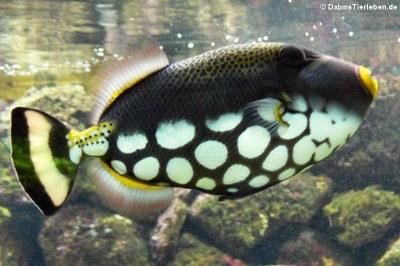 Leopard-Drückerfisch (Balistoides conspicillum)