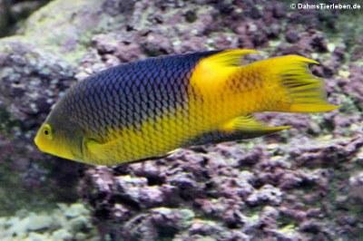 Spanischer Schweinslippfisch (Bodianus rufus)