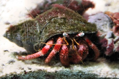 Großer Roter Einsiedlerkrebs (Dardanus calidus)