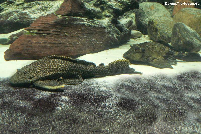 Hypostomus punctatus und Pterygoplichthys scrophus