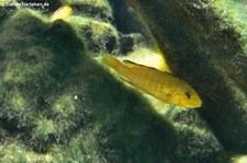 Gelber Spitzkopf-Maulbrüter (Labidochromis caeruleus) im Allwetterzoo Münster