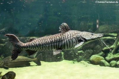Tiger-Spatelwels (Pseudoplatystoma tigrinum)
