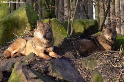 Iberische Wölfe (Canis lupus signatus)