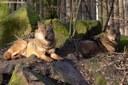 Canis lupus signatus
