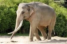 Asiatischer Elefant im Allwetterzoo Münster