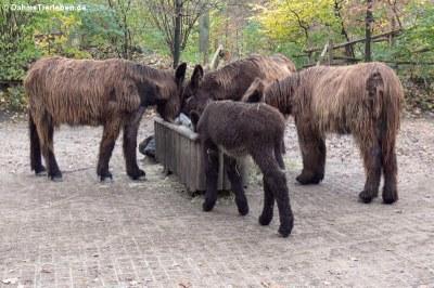 Poitou-Esel (Equus africanus f. asinus)