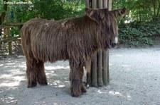 Poitou-Esel im Allwetterzoo Münster