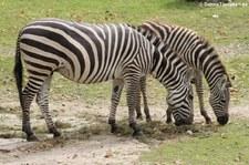 Böhm- oder Grant-Zebra (Equus quagga boehmi) im Allwetterzoo Münster