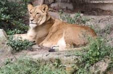 Löwe (Panthera leo) im Allwetterzoo Münster