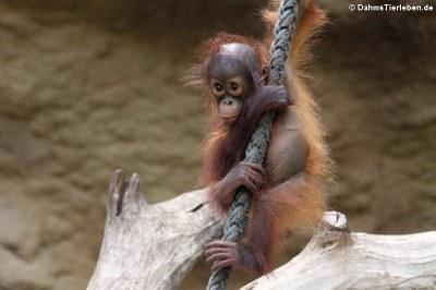 Junger Borneo Orang-Utan (Pongo pygmaeus)