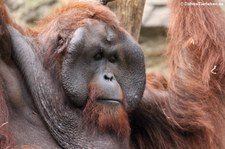 Borneo Orang-Utan (Pongo pygmaeus) im Allwetterzoo Münster