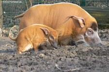 Pinselohrschweine (Potamochoerus porcus) im Allwetterzoo Münster