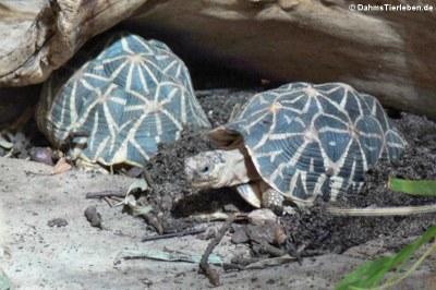 Indische Sternschildkröten (Geochelone elegans)