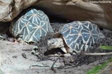 Indische Sternschildkröten (Geochelone elegans) im Allwetterzoo Münster