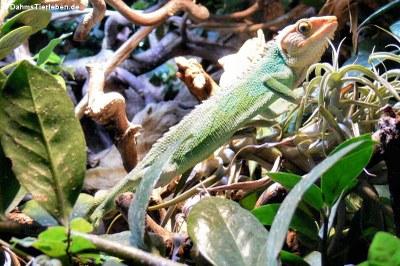 Buntleguan (Polychrus peruvianus)