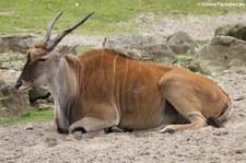 Elenantilope (Taurotragus oryx) im Allwetterzoo Münster