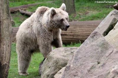 Syrischer Braunbär (Ursus arctos syriacus)