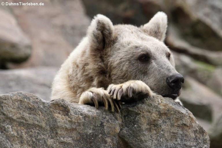 Ursus arctos syriacus