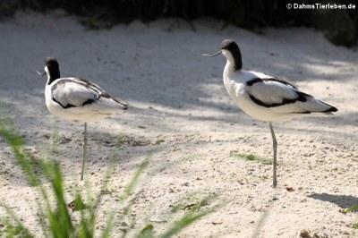 Säbelschnabler (Recurvirostra avosetta)