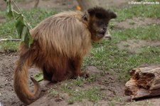 Haubenkapuziner (Cebus apella) im Zoo Neuwied