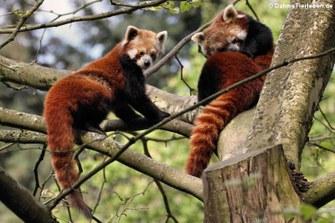 Westliche Kleine Pandas (Ailurus fulgens)