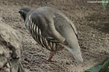 Alpensteinhuhn (Alectoris graeca saxatilis) im Zoo Neuwied